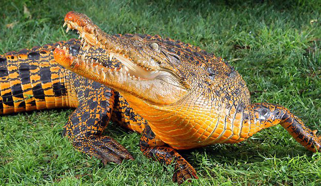 crocodile turns bright orange