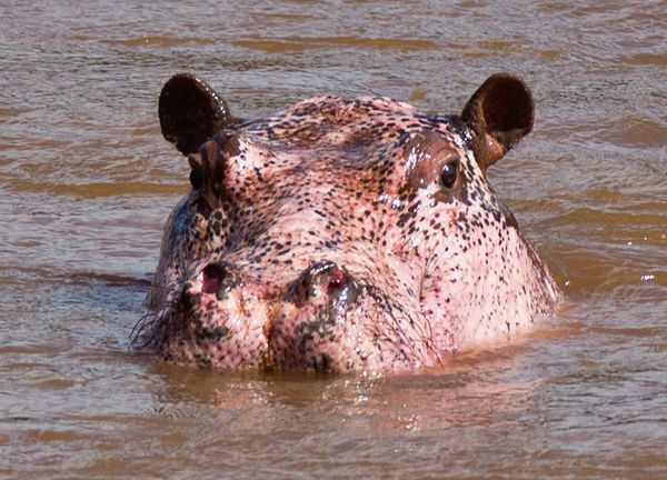rare pink hippopotamus pinkopotamus head